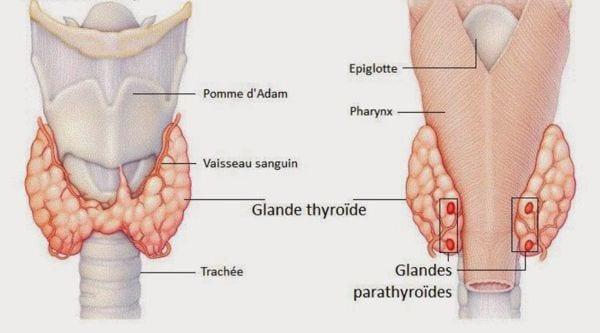 La chute de cheveux pour avoir comme origine les problèmes de la glande thyroïde